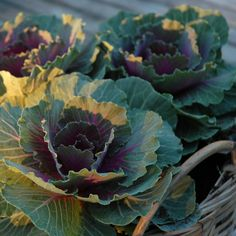 growing decorate cabbage next year! beautiful in flower arrangements...