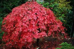 Acer palmatum 'Orangeola' this maple changes color with each season (bright red to greenish red to orange red)