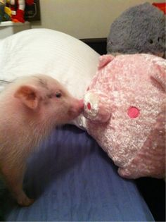 Community Post: 23 Pickup Lines From Teacup Pigs This Little Piggy, Little Pigs, Teacup Piglets, Pig Pics, Baby Animals, Cute Animals, Tout Rose, Small Pigs, Mini Pigs
