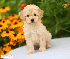 Mini Goldendoodle Puppy for Sale