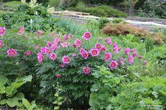 Vanhat pihasyreenit ja kuolanpioni - Sarin puutarhat