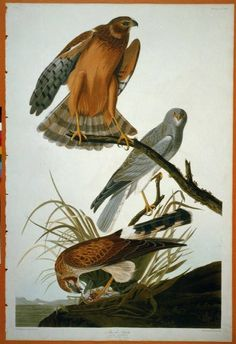 Male, female, and juvenile Northern harriers (Marsh Hawk) from Audubon's The birds of America National Gallery Of Art, Art Gallery, Audubon Birds, American Animals, Birds Of America, John James Audubon, Fine Art Prints, Canvas Prints, Birds Of Prey