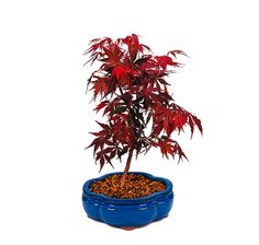 The Japanese Red Maple is a rare bonsai tree that is known for its vivid red leaves that begin to first emerge in the spring, and continue to show their color for the heat of summer and even into autumn. The palmate leaves are gracefully serrated, which set this tree apart from all others. If it is unique color you are looking for, than this bonsai is a sure satisfaction. Add this to your home decor or spring decorations!