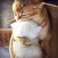 Things that make you go AWW! Like puppies, bunnies, babies, and so on. A place for really cute pictures and videos! Animals And Pets, Baby Animals, Cute Animals, Cute Cats And Kittens, I Love Cats, Polydactyl Cat, Bengal Kitten, Little Kitty, Ginger Cats