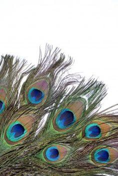peacock feather eye on white background  Stock Photo