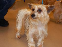 Rey is a 4-year-old Silky Terrier who weighs around 12 pounds. He gets along well with other dogs. He is very social and would be a wonderful addition to most any home. The $300 adoption fee helps to cover spay/neuter services, vaccinations, microchip, deworming, flea treatment, Heartworm test, vet check, transportation to rescue, quality food/care, and 30 days of pet health insurance. Call at 243-6911. Go to www.petswithoutpartners.org.  See more pets at www.redding.com