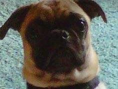 """Our pug's reaction to me calling the new chick """"baby""""... Can't you just see """"But I thought 'I' was your baby!"""" in his eyes?"""