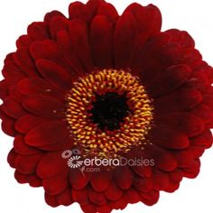Bulk Flowers - Fresh Brown Germinis With Cream Ring