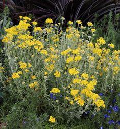 "Eriophyllum confertiflorum ""Yellow Yarrow"" - Buy Online at Annie's Annuals"
