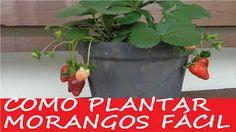 Como plantar morangos em vasos, processo completo! - YouTube