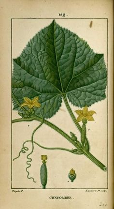 Nature Illustration, Botanical Illustration, Botanical Prints, Squash Flowers, The Painted Veil, Impressions Botaniques, Illustration Botanique, Botany, Plant Leaves