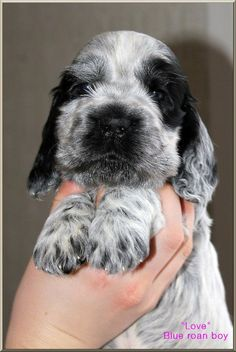 """Click visit site and Check out Cool """"English Cocker Spaniel"""" T-shirts. This website is excellent. Tip: You can search """"your name"""" or """"your favorite shirts"""" at search bar on the top."""