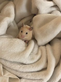 This sub is dedicated to hamsters and their humans. Hamster Pics, Baby Hamster, Hamster Care, Cute Animal Memes, Cute Funny Animals, Funny Hamsters, Syrian Hamster, Cute Rats, Cute Little Animals