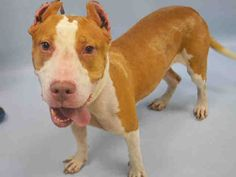 SAFE RTO 9-18-2015 --- Manhattan Center MILEY – A1051243  FEMALE, WHITE / BROWN, PIT BULL MIX, 3 yrs STRAY – EVALUATE, NO HOLD Reason STRAY Intake condition EXAM REQ Intake Date 09/12/2015