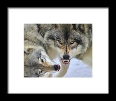 Timber Wolves At Play Framed Print by Tony Beck.  All framed prints are professionally printed, framed, assembled, and shipped within 3 - 4 business days and delivered ready-to-hang on your wall. Choose from multiple print sizes and hundreds of frame and mat options.