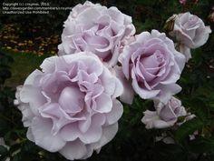 Full size picture of Grandiflora, Hybrid Tea Rose 'Lagerfeld'