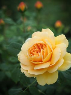 "Photo ""Golden Celebration"" by T. Beautiful Flowers Garden, Beautiful Roses, Pretty Flowers, Summer Flowers, Yellow Flowers, Coming Up Roses, No Rain, Different Plants, Flowering Trees"