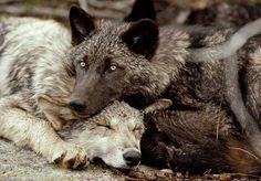 `@NatGeo's Jim and Jamie Dutcher Share Life Work with #Wolves http://dailynexus.com/2014-11-02/national-geographics-jim-and-jamie-dutcher-share-life-work-with-wolves-at-campbell-hall/ … #wildlife #conservation