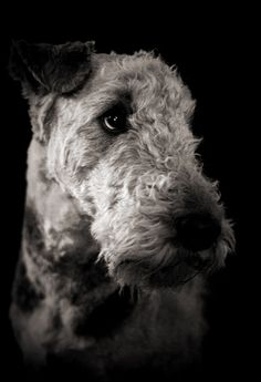 black and white airedale