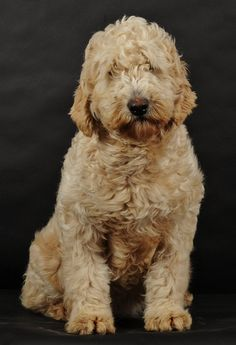 goldendoodle information