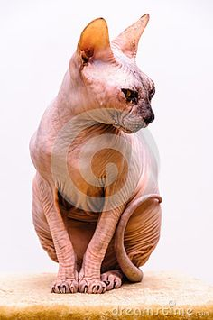 Stock Photo: Sphynx cat pet shop stand sphinx breed tongue out mouth isolated white background. Cat Pet Shop, Sphinx Cat, Cat Breeds, Lion Sculpture, Stock Photos, Statue, Pets, Animals, Shopping