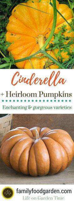 Cinderella Pumpkins + Enchanting Heirloom Pumpkin Varieties ~Family Food Garden