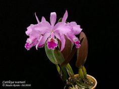 Cattleya warneri T.Moore ex R.Warner -