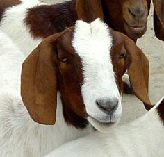Best goat breeds for meat and dairy