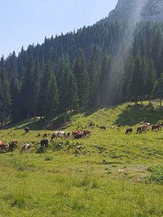 Montagna e mucche
