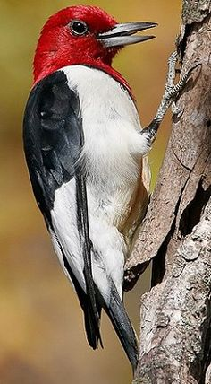 Red-Headed Woodpecker - a strikingly handsome bird Pretty Birds, Beautiful Birds, Animals Beautiful, Owl Bird, Bird Art, Rare Birds, Exotic Birds, Spotted Woodpecker, Common Birds
