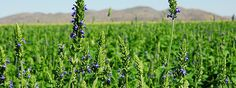 Chia Seed: Dietary Wisdom of the Ancients Chia is a desert variety of mint cultivated since ancient Chia Seed Plant, Chai Seed, Salvia Hispanica, Fields Of Gold, Planting Seeds, Superfoods, Smoothie, Herbs, Wisdom