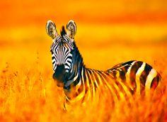 Beautiful Zebra - Beautiful Photography