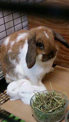 Broken tort Holland lop and her 2 white bunnies, lop eared bunnies, 3 week old bunnies
