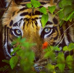 The eyes of the tiger.  #tigers
