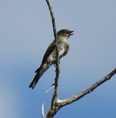 Olive-sided Flycatcher (1)