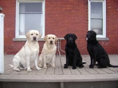 Labrador Retrievers: this is one case where black or white comes out all good.
