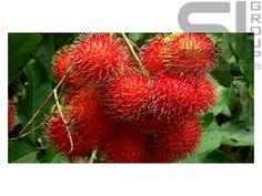 Фрукты Тайланда: Рамбутан — мохнатый фрукт http://phuket.thai-sale.com/rambutan-mohnaty-j-frukt/  Фрукты Тайланда. Рамбутан произрастает в Таиланде. Он выращивается там повсеместно. Часть урожая предназначается для экспорта в другие страны. Обычно отправляют свежий или консервированный фрукт. Рамбутан переводится, как... ПодробнееThe post Фрукты Тайланда: Рамбутан — мохнатый фрукт appeared first on Phuket Thai Sale.