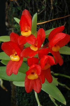 Orchid: Fernandezia maculata - Flickr - Photo Sharing!