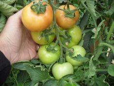 Tehnologie de cultura a tomatelor sau cultivarea rosiilor Vegetables, Fruit, Food, Culture, Essen, Vegetable Recipes, Meals, Yemek, Veggies