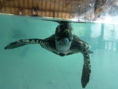 Indonesia :  Baby turtle in gili trawangan turtle sanctuary  #Travel  #Indonesia  #Turtles