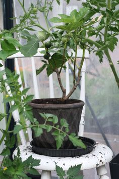 Do you grow ficus in your greenhouse? It benefits of the warmth of a greenhouse in a nordic garden. Ficus, Garden, Plants, Outdoor, Outdoors, Garten, Lawn And Garden, Gardens, Plant