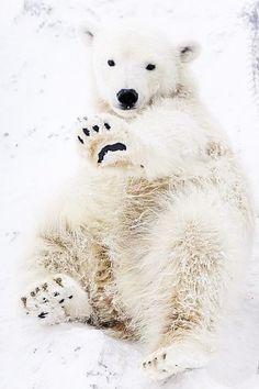 source : pinterest   (collection animal ours polaire bébé / polar bear)