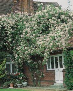 R. filipes 'Kiftsgate' Rambler Rose