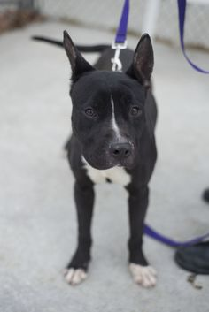 ANNA...FOUND IN STARK COUNTY Canton, OHIO....Update 1/11:  Poor Lyanna, she has been here the longest now!  She is becoming frustrated at the pound.  Maybe that's what people see first, a dog dancing around in her pen, and think oh, she's too hyper for me!  Lyanna isn't hyper, she's bored to...
