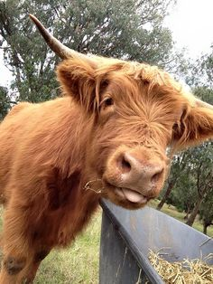 caitlin the cow via highland cattle breeders group.
