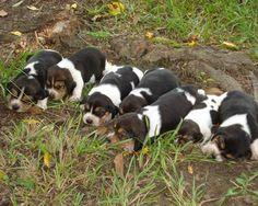 tired Beagle pups