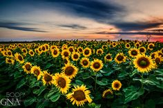 Sunflowers by nagyarpad73 #nature #mothernature #travel #traveling #vacation #visiting #trip #holiday #tourism #tourist #photooftheday #amazing #picoftheday