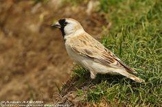Pere David's Snowfinch - Pyrgilauda davidiana