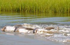 Dolphins strand feeding at Seabrook Island, SC