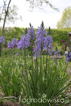 http://www.ogrodowisko.pl/watek/976-ogrod-tworze-nowoczesny-czyli-wewnetrzna-walka-jak-nie-zostac-kokoszka?page=838 czosnki Purple Sensation i kamasja